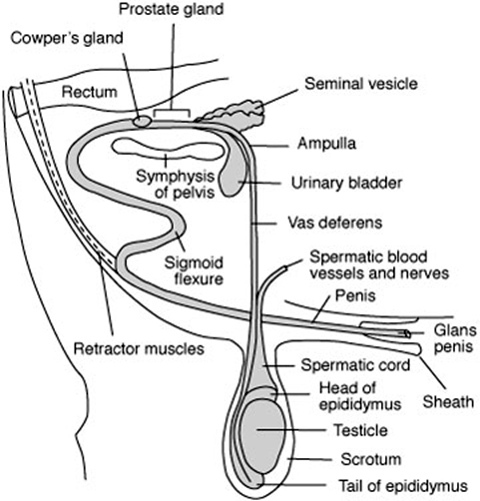 Physiology And Anatomy Of Reproduction
